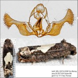 3202 – Bidens Borer Moth – Epiblema otiosana IMG_5237.jpg