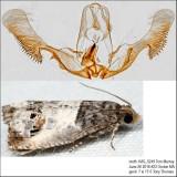 3208 – Doubleday's Notocelia Moth – Notocelia rosaecolana IMG_5249.jpg