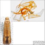 0144 – Oak Blotch Miner Moth – Tischeria quercitella IMG_5259.jpg