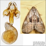 9040 – Black-patched Graylet Moth – Hyperstrotia secta IMG_5261.jpg