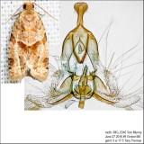 3688 – Garden Tortrix Moth – Clepsis peritana IMG_5346.jpg