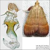 5571 – Drab Condylolomia Moth – Condylolomia participalis IMG_5377.jpg