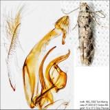 1803 – Conifer Coleotechnites Moth – Coleotechnites coniferella IMG_5382.jpg