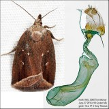 9059 – Curved Halter Moth – Capis curvata IMG_5385.jpg