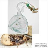 2861 – Off-white Hedya Moth – Hedya ochroleucana IMG_5408.jpg