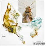 1722 – Theisoa constrictella IMG_5634.jpg