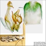 1803 – Conifer Coleotechnites Moth – Coleotechnites coniferella IMG_5635.jpg