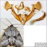 9408 – Exhausted Brocade Moth – Neoligia exhausta IMG_5643.jpg
