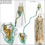 1716 – Monochroa quinquepunctella IMG_5675.jpg