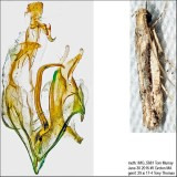 1787 – White-edged Coleotechnites Moth – Coleotechnites albicostata IMG_5681.jpg
