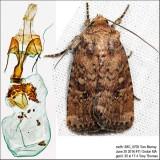 10532.1 – Southern Scurfy Quaker Moth – Homorthodes lindseyi IMG_5705.jpg
