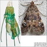 4755 – Waterlily Leafcutter Moth – Elophila obliteralis IMG_5454.jpg