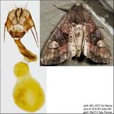 9545 – American Angle Shades Moth – Euplexia benesimilis IMG_5572.jpg