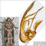 1881 – Crepuscular Rock-rose Moth – Neotelphusa sequax IMG_5591.jpg