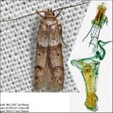 1167 – Blastobasis pulchella IMG_5597.jpg