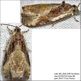 2787 – Bunchberry Leaffolder Moth – Olethreutes connectum IMG_5598a.jpg
