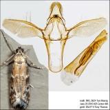 6011 – Brower's Vitula Moth – Vitula broweri IMG_5624.jpg