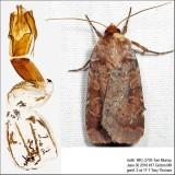 11010 – Lycophotia Moth – Lycophotia phyllophora IMG_5726.jpg
