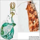 2771 – Macramé Moth – Phaecasiophora confixana IMG_5732.jpg