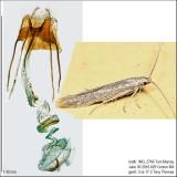 1350 – Coleophora quadruplex IMG_5766.jpg