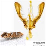 0808 – Cameraria australisella IMG_5768.jpg