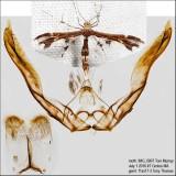 6092 – Himmelman's Plume Moth – Geina tenuidactylus IMG_5807.jpg