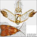 3716 – Spring Dead-leaf Roller Moth – Cenopis diluticostana IMG_5822.jpg