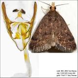 5117 – Merrick's Pyralid Moth – Loxostegopsis merrickalis IMG_5864.jpg