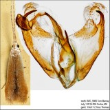 1291 – Pecan Cigar Casebearer Moth – Coleophora laticornella IMG_5866.jpg