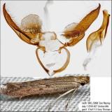 1702 – Isophrictis similiella IMG_5868.jpg