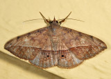 8574 - Velvetbean Caterpillar Moth - Anticarsia gemmatalis