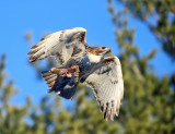Red-tailed Hawk - Buteo jamaicensis (carrying a Gray Squirrel in its talons)