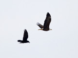 Bald Eagle & Common Raven
