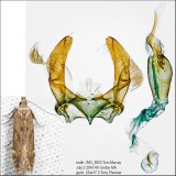 1707 – Monochroa angustipennella IMG_5923.jpg