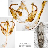 Hypatopa sp. IMG_5959.jpg
