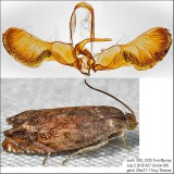 3471 - Hickory Shuckworm Moth - Cydia caryana IMG_5972.jpg
