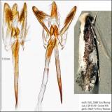 0416 – Skunkback Monopis Moth – Monopis dorsistrigella IMG_5988.jpg