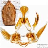 3635 - Oblique-banded Leafroller - Choristoneura rosaceana IMG_6073.jpg