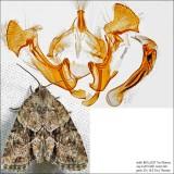 9408 - Exhausted Brocade - Neoligia exhausta IMG_6237.jpg