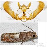 3310 - Walker's Epinotia Moth - Epinotia transmissana IMG_6248.jpg
