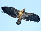 Eagles and Ospreys