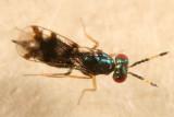 Astichus sp.