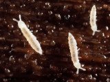 Heteraphorura subtenuis
