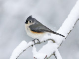 Tufted Titmouse in a snow storm