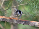 Black-capped Chickadee taking off