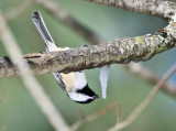 Black-capped Chickadee drinking from an icicle