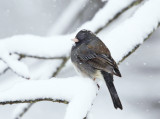 Juncos - genus Junco