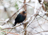 Brown-headed Cowbird - Molothrus ater