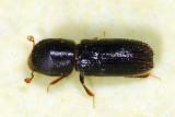 Xyleborinus attenuatus