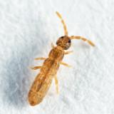 Vertagopus pseudocinereus (female)